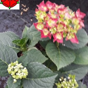 Hydrangea macrophylla Hot Red hortenzia