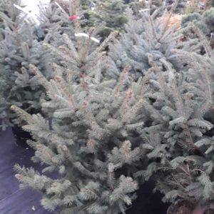 Vianočný stromček – smrek