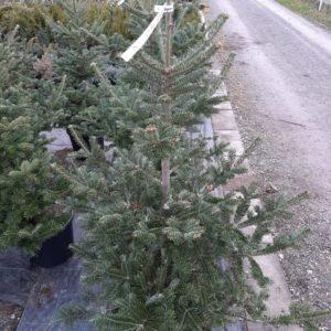 Vianočný stromček – jedlička