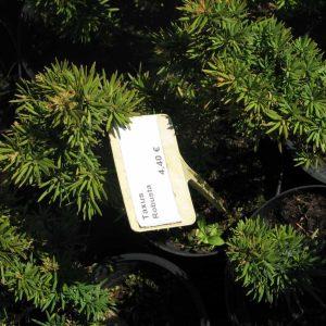 Tis obyčajný Taxus fastigiata robusta